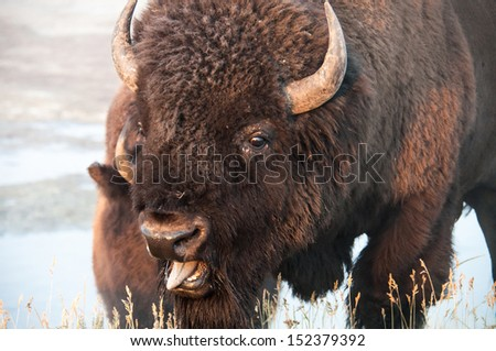 Closeup of a bison at Yellowstone national park - stock photo