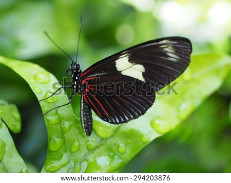 Closeup of a Black and Red Doris Butterfly from South America - stock photo
