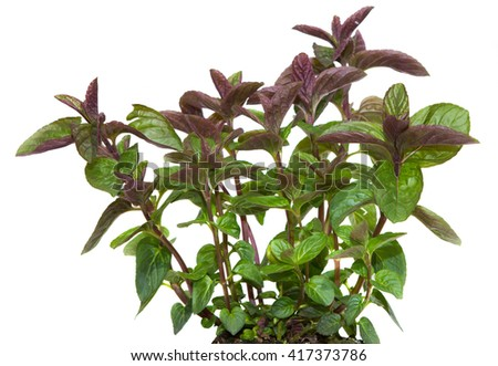 Closeup of a Black Spermint plant. It is used as kitchen herb for tea and spice. - stock photo