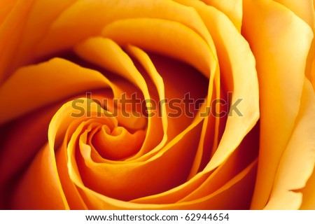 Closeup of a blooming orange and yellow rose. - stock photo