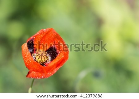 closeup of a blossoming red poppy with raindrops after rain on green background - stock photo