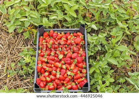 Closeup of a  box full with fresh red strawberries on the field - stock photo