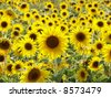 Closeup of a bright yellow sunflower - stock photo