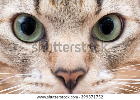 Closeup of a British Shorthair cat eye,Macro shoot of cat eye with white reflection