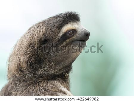 Closeup of a Brown-throated Three-toed Sloth (Bradypus variegatus) - Panama - stock photo