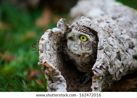 Closeup of a Burrowing Owl in a hollow tree  - stock photo