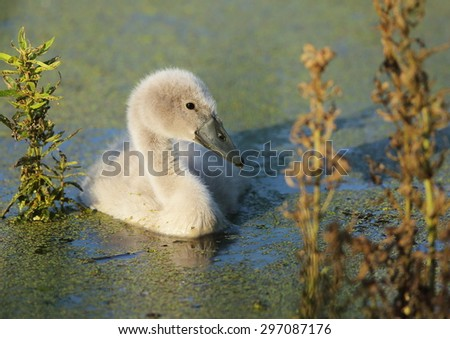Closeup of a Canada goose gosling (Branta canadensis) swimming in a southern Ontario marsh area.  The gosling has the sun reflected in his eye and algae on his plumage and is quite cute.   - stock photo