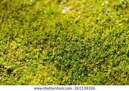 Closeup of a carpet of green moss in the sunlight - stock photo