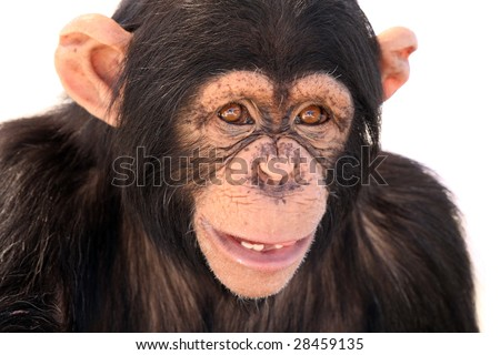 Closeup of a Chimpanzee with a funny expression. - stock photo