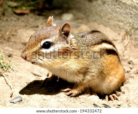 Closeup of a chipmunk as he came out of his hole. - stock photo