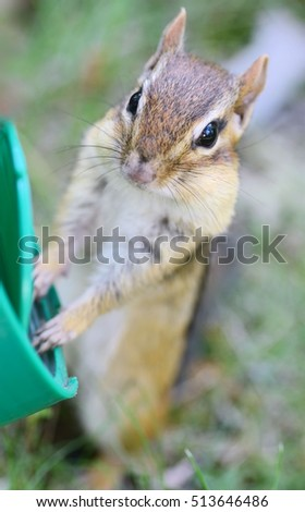 Closeup of a chipmunk standing on alert with her hands on a food container