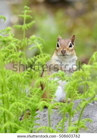 Closeup of a chipmunk standing up among bright green ferns in the Spring