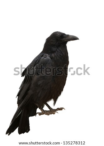 Closeup of a Common Raven (Corvus corax) isolated on white - stock photo