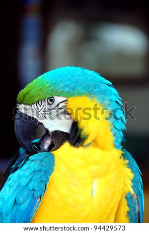 Closeup of a Costa Rican macaw shows bird cleaning his feathers.  Brilliant blue and yellow feathers.