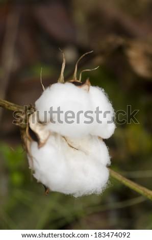 Closeup of a cotton plant - stock photo
