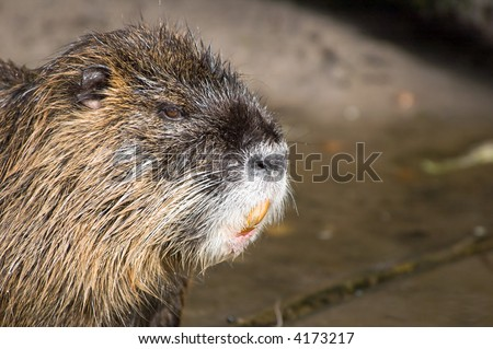 closeup of a coypu, also named  nutria native to South America