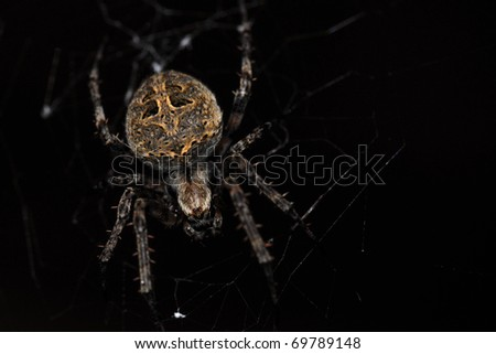 Closeup of a cross spider in its web
