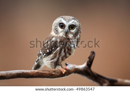Closeup of a curious Saw-Whet Owl against a blurred autumn background. - stock photo