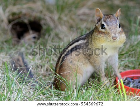 Closeup of a cute mother chipmunk at a food dish full of sunflower seeds with her baby coming out of the burrow in the background
