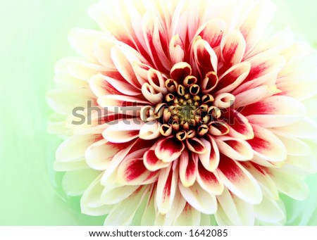 Closeup of a Dahlia Flower - stock photo