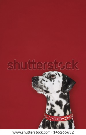 Closeup of a Dalmatian looking up against red background - stock photo