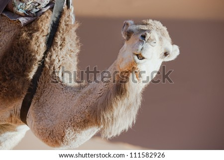 Closeup of a dromedary (camel) in the Sahara desert, Morocco. - stock photo