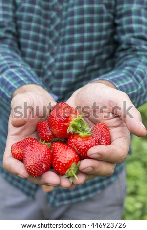 Closeup of a farmer hands holding fresh picked strawberries on the field - stock photo