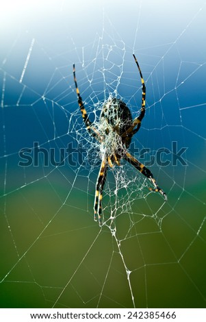 Closeup of a female Argiope aurantia spider in her web - stock photo
