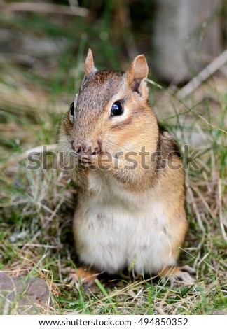 Closeup of a female chipmunk in the process of cleaning