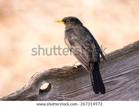 Closeup of a female Eurasian Blackbird sitting on a wooden fence - stock photo