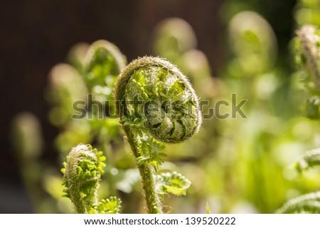 closeup of a fern unrolling. - stock photo