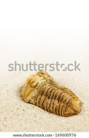 Closeup of a flexicalymene ouzregui trilobite fossil in sand. The fossil is from the ordovician era and about 450 million years old. - stock photo