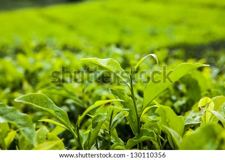 Closeup of a fresh bud on a tea plant after a rain shower - stock photo