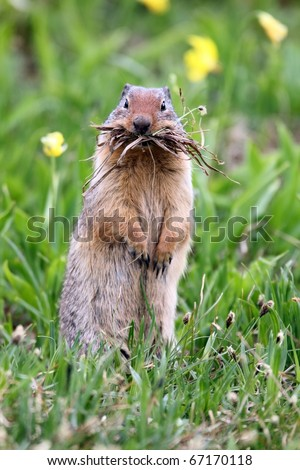 Closeup of a funny Columbian Ground Squirrel hoarding food for the long winter in Glacier National Park, Montana. - stock photo