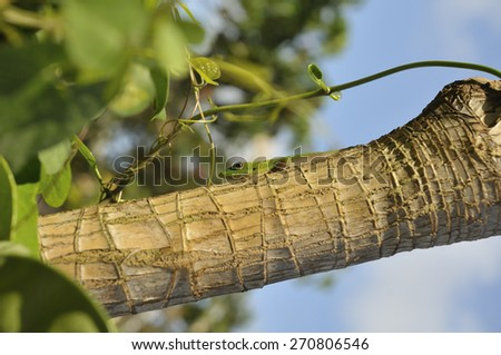 closeup of a Gecko lizard laying on a tropical tree branch in Hawaii - stock photo