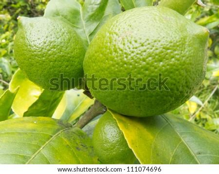 Closeup of a good crop of still green lemon fruits growing on tree - stock photo