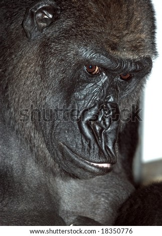 Closeup of a gorilla