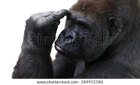 closeup of a gorilla pondering things - stock photo