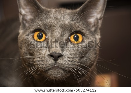 closeup of a gray cat breed Chartreux