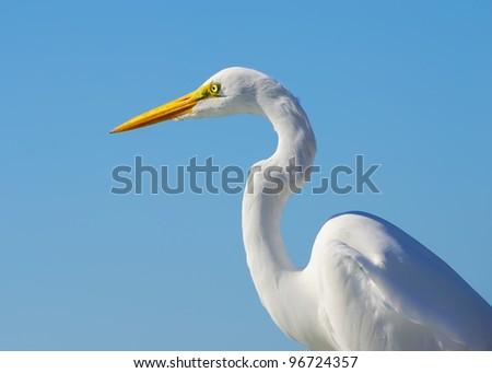 Closeup of a great egret Closeup photo of a great egret in Florida. - stock photo