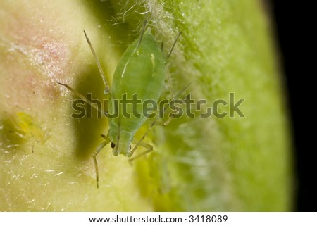 Closeup of a green aphid - stock photo