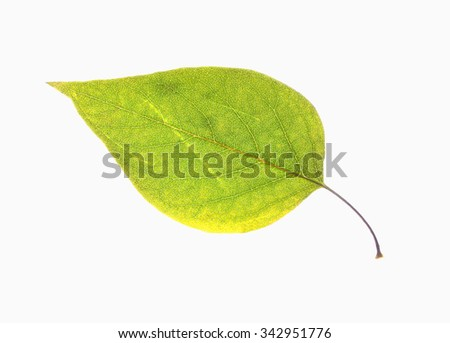 Closeup of a  Green Autumn Leaf - Isolated on White - stock photo