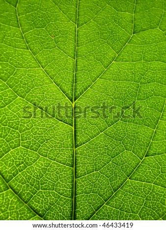 Closeup of a green backlit leaf - stock photo