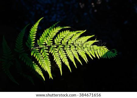 closeup of a green fern leaf lighten by sunlight on dark background. - stock photo