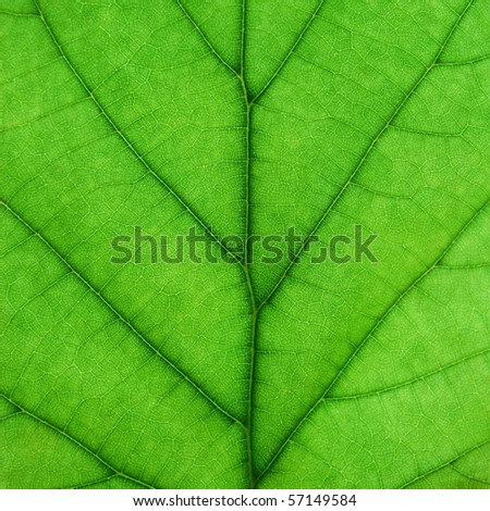 Closeup of a green hazel leaf - stock photo