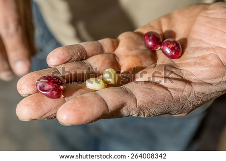 closeup of a hand holding freshly picked organic coffee bean in San Pedro la Laguna Guatemala - stock photo