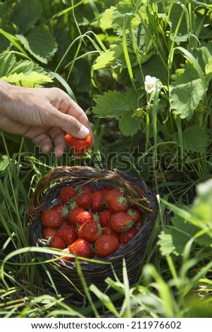 Closeup of a hand picking strawberries - stock photo