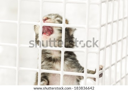 closeup of a hand-reared kitten crying for food in a vet basket