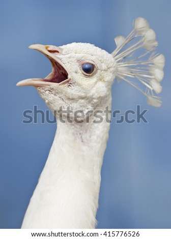 Closeup of a Head of a White Peacock Outdoors - stock photo