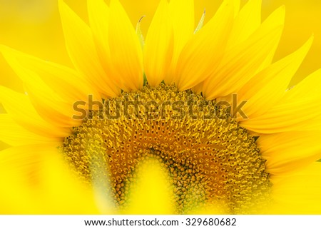 Closeup of a Kansas sunflower with out of focus petals in the foreground. - stock photo